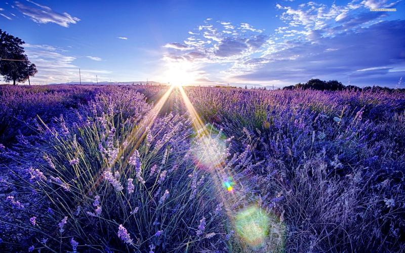 Lavender Field Morning