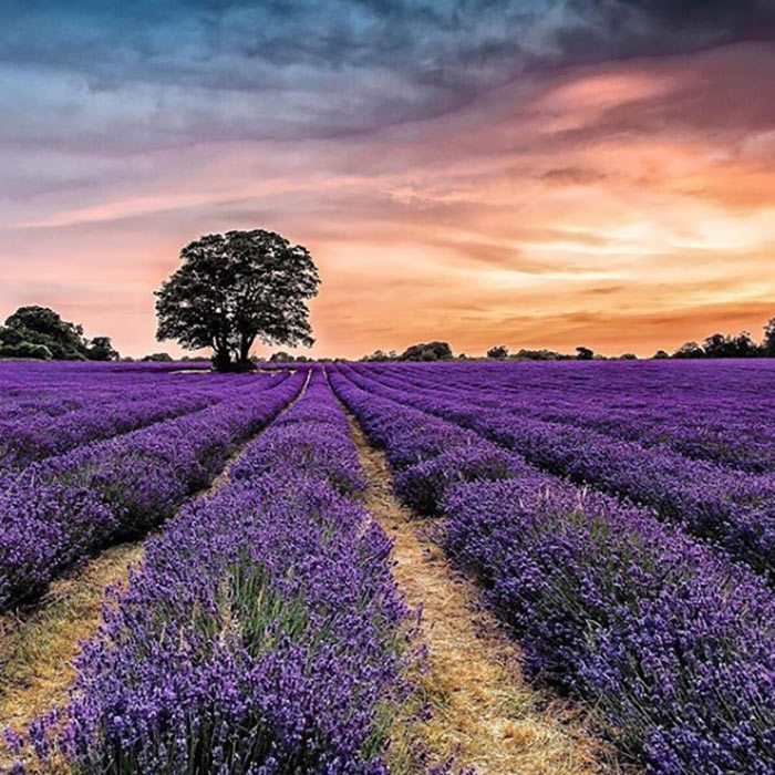 Mayfield-lavender-fields-sunset-z
